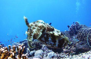 Cuttle fish, diving, Gili Trawangan