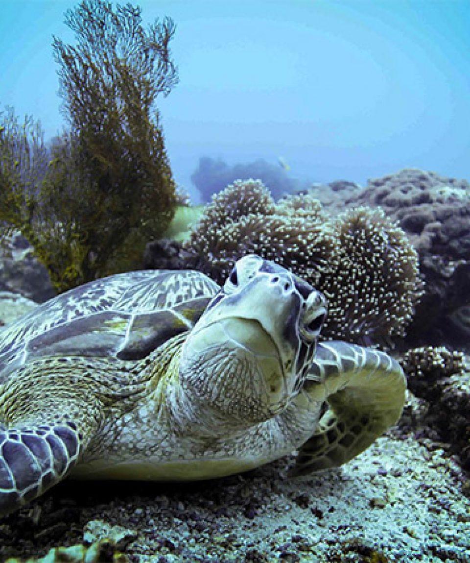 Green turtle, Gili Trawangan