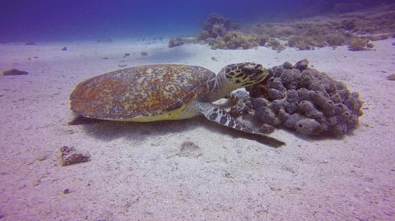 Turtle, Komdo islands