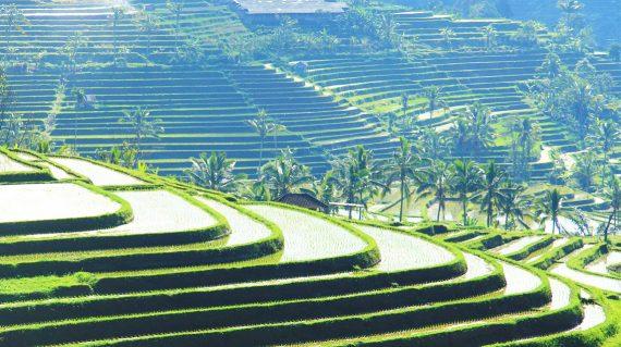 Rice field Jatiluwah, Bali